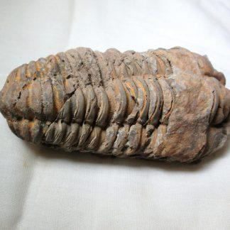 Трилобит. Палеозой (252-541 млн. лет). Алжир.